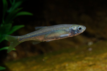 Belica - Leucaspius delineatus. Leucaspius delineatus, known as the sunbleak, belica or moderlieschen is a species of freshwater fish in the Cyprinidae family