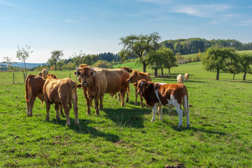 Glan cow herd in the meadow
