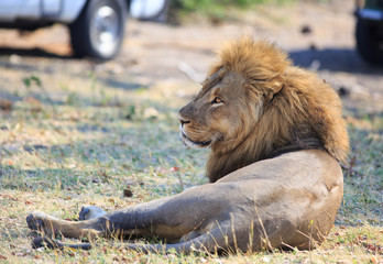 Side Profile of an African Male Lion resting with safari vehicles in the background, Hwange Natioanl Park, Zimbabwe