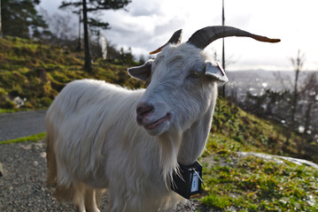 Goat on the moutian