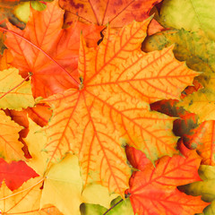 Colorful texture with fallen maple leaves, macro