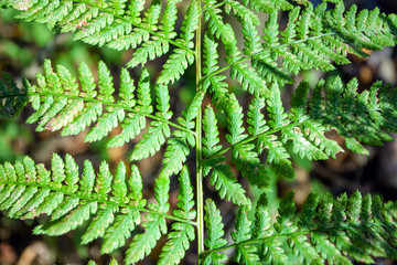 Green leaf fern, background, texture