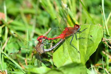 White-faced Meadowhawk Illinois Insects