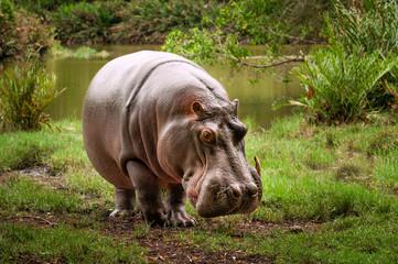 Kenyan hippo on the riverbank.
