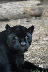 Wall Murals Panther Black jaguar lying down looking at you