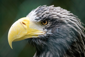 Closeup portrait of a Steller's sea eagle