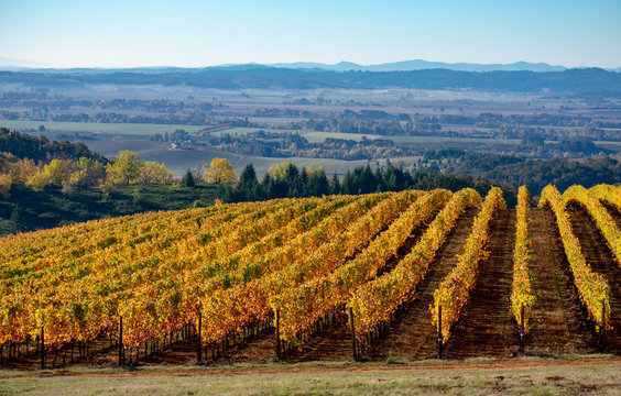 Vineyard rows turning gold rise over a hill in an Oregon vineyard, a view to the valley below and distant hills in the background.