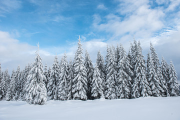 Christmas background, snow covered forest in winter
