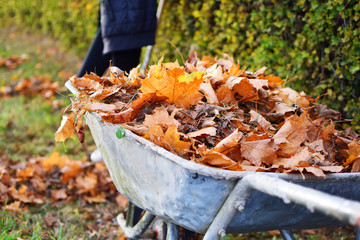 Autumn leaves in old wheelbarrow on green yard background in sunny autumn day.