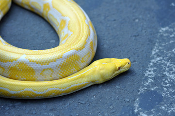 Albino Phyton Snake