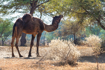 Camel in the Rajasthan - India
