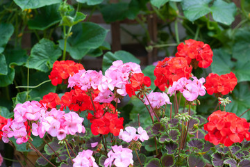 Pink and Red Geranium Flowers (with cucumber plants behind them)
