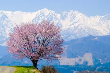 一本桜と雪の白馬連山