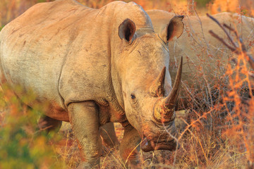 White Rhinoceros, subspecies Ceratotherium simum, also called camouflage rhinoceros at sunset light standing in bushland natural habitat, South Africa. Side view. The Rhinos is part of the Big Five.