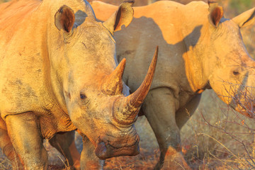 Detail of the horn of a White Rhinoceros, Ceratotherium simum, also called camouflage rhinoceros at sunset light standing in bushland habitat, South Africa. The Rhinos is part of Big Five.