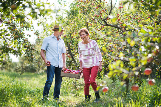 A senior couple carrying a wooden box full of apples in orchard in autumn.