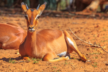 Front view of Springbok female, Antidorcas marsupialis, sitting in red sand desert. UMkhuze Game Reserve in South Africa.The springbok is a medium-sized antelope.