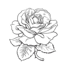 Black and white rose flower with leaves and stem. Vector illustration of open rose bud. Hand drawn sketch.