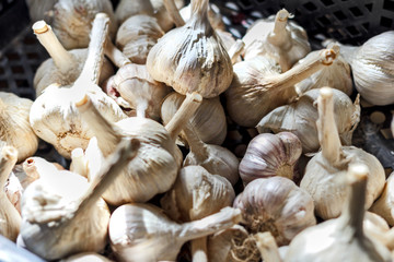 Harvest heads of garlic