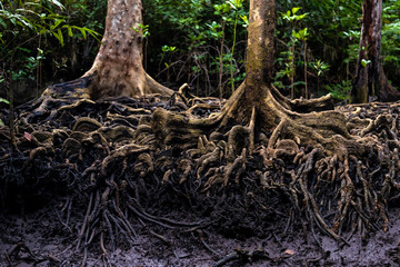 Mangrove tree roots in jungle