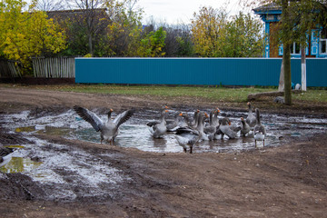 Geese Playing in a Puddle. Geese swim in a puddle on a rural road