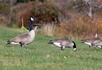 group of canadian geese