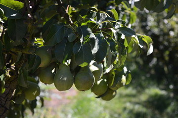 Fresh pears in a pear tree