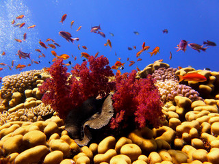red sea coral and tropical fish