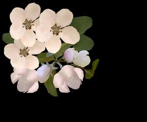 white apple tree blooms on black