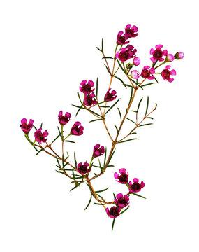 Chamelaucium flowers