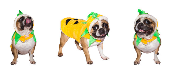 Set of images of French Bulldog in halloween costume of pumpkin isolated on a white background.