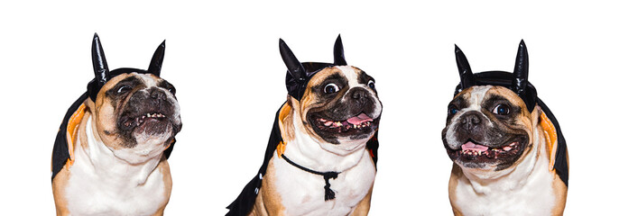 Set of images of French Bulldog in different halloween costumes isolated on a white background.