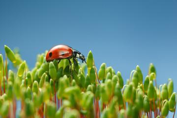 Fotobehang Vlinders Ladybird walking over moss tops