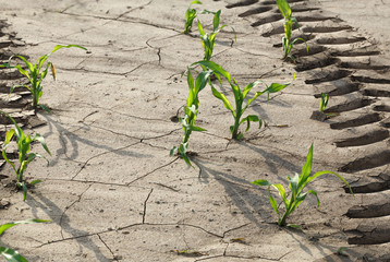 Tyre track on maize field