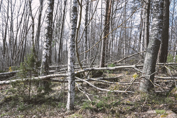 Trees broken in the storm by the wind in the forest. Fallen Aspens