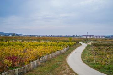 Autumn vineyards in Pezinok. Not far from Bratislava. Slovakia.