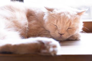 A Sleeping cat face closeup