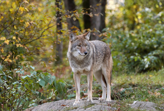 coyote in nature during fall