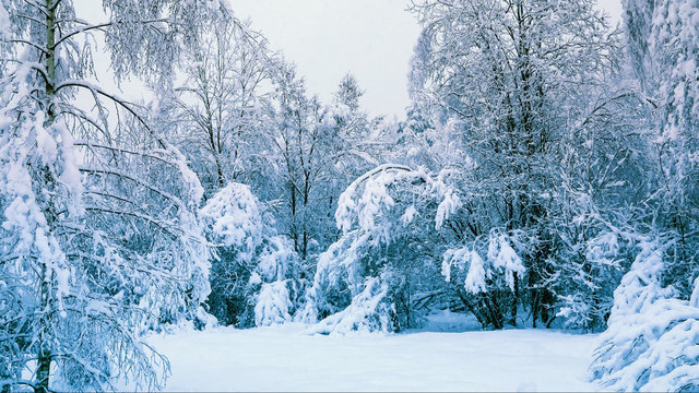 Winter landscape. Snow-covered forest in the early morning after a heavy snow