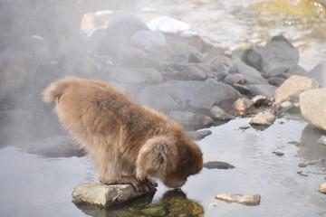 お湯で顔を温める地獄谷の猿