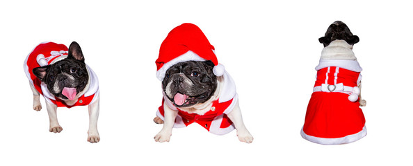 Set of portraits of a young French Bulldog in a Christmas costume isolated on white background