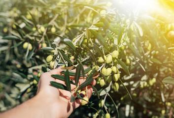 Foto op Aluminium Olijfboom Hand holding olive tree branch. Sun light