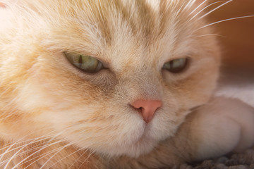 Cute cream tabby cat rests his head on paw, close up