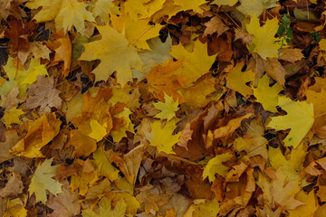 Beautiful Nature Background.  Cropped Shot Of Colorful Leaves.  Nature, Parks, Outdoor Concept.