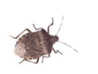 Brown marmorated stink bug Halyomorpha halys, an invasive species from Asia. Isolated on white.