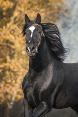 Fototapete - Portrait of running latvian breed horse  in autumn