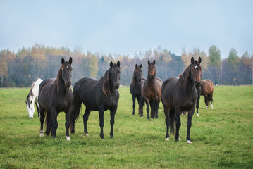 Herd of horses on the pasture in autumn