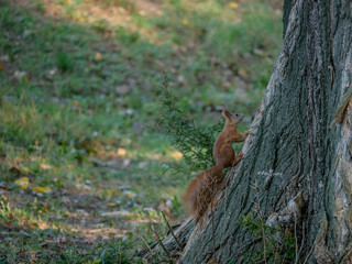 Squirrel on the tree. Autumn forest in background.