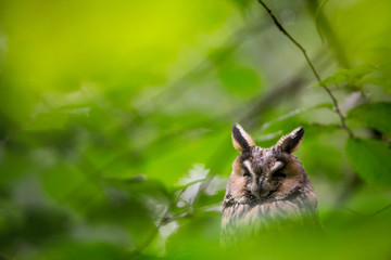 Sleeping Long-eared owl (Asio otus). Image from Bavarian Forest National Park