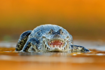Yacare Caiman, crocodile with open muzzle with big teeth, Pantanal, Brazil. Detail portrait of danger reptile.